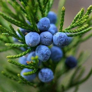 Juniper Berry Extract 10:1 TLC