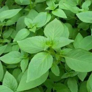 Herba Schizonepetae Extract 10:1 TLC